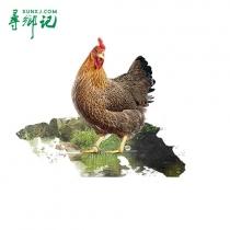 凤中凰清远麻鸡168天_看图王